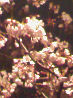 夜桜day???